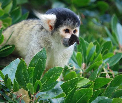 Beaked Monkey